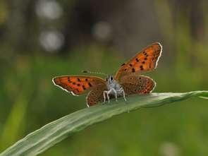 Veepee pomaga ratować motyle